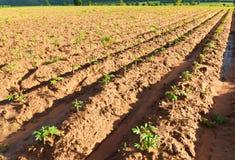 木薯农场 免版税库存图片