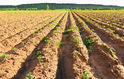 木薯农场 库存图片