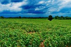 木薯农夫美妙地增长 免版税库存图片