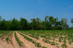 木薯树 免版税图库摄影