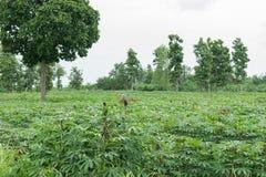 木薯种植园 免版税库存照片