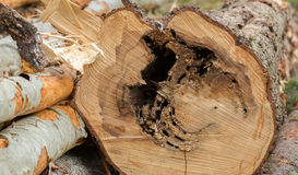 木蚂蚁筑巢造成在冷杉木头的损伤 免版税库存照片