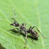 黑木蚂蚁(Camponotus pennsylvanicus) 库存图片