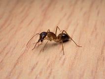 木蚂蚁Camponotus Sp 清洁身体 图库摄影