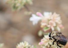 木蜂-三叶草底下R 免版税库存图片