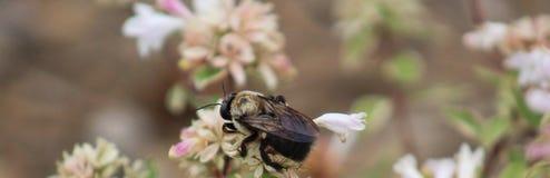 木蜂-三叶草狭窄 免版税库存图片