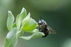 木蜂 免版税库存图片