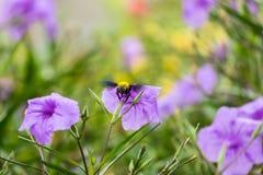 木蜂 免版税图库摄影