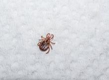 木蜱,狗壁虱 免版税库存图片