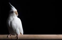 木表面上的白变种小形鹦鹉 免版税库存照片