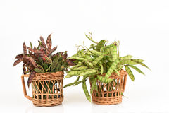木豆,安哥拉豌豆,刚果豌豆 库存图片