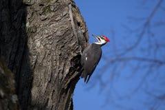 木质的啄木鸟 库存照片