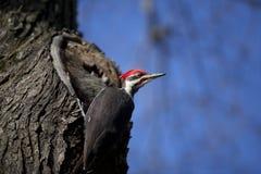木质的啄木鸟 库存图片