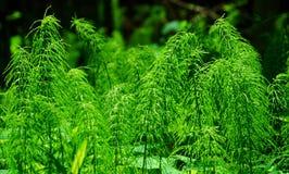 木贼属植物 免版税库存照片