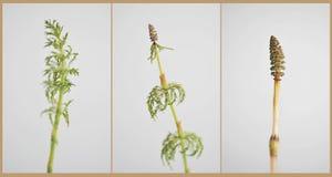 木贼属植物 免版税库存图片