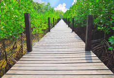 木走道在美洲红树森林里 库存照片
