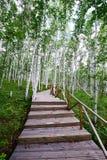 木路在桦树森林里 库存照片