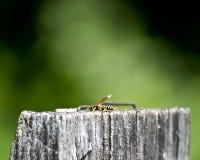 木过帐的黄蜂 免版税库存图片