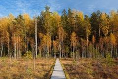 木道路方式路从沼泽沼泽到森林秋天 免版税库存图片