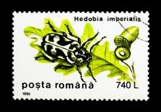 木钻眼工人(Hedobia imperialis),甲虫serie,大约1996年 库存照片
