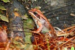 木青蛙威斯康辛野生生物 免版税库存照片