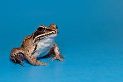 木青蛙(蛙属sylvatica) 图库摄影