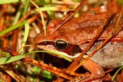 木青蛙 免版税库存图片