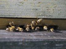 木项的蜜蜂 免版税库存照片