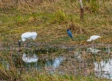 木鹳和一只小的蓝色苍鹭和朱鹭 库存图片