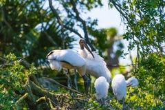 木鹳和小鸡在巢 免版税库存照片