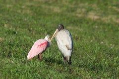 木鹳和粉红琵鹭 图库摄影