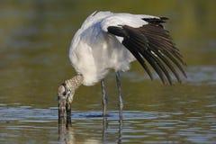 木鹳哺养在一个浅盐水湖的-皮尼拉斯县,小花 免版税库存照片