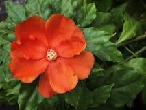 木麒麟属grandifolia或罗斯仙人掌与绿色叶子 库存图片