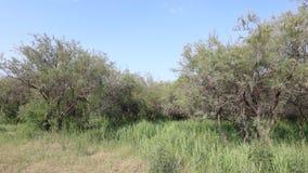 木麻黄属的各种常绿乔木森林在草原,多孔黏土rgb 库存图片