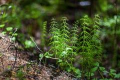 木贼属植物宏观看法在森林里 免版税库存图片