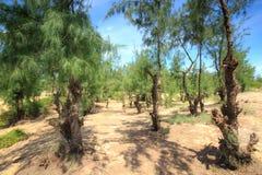木麻黄属的各种常绿乔木杉树 免版税库存照片