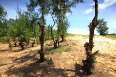 木麻黄属的各种常绿乔木杉树 免版税图库摄影