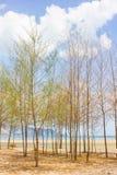 木麻黄属的各种常绿乔木树 库存图片