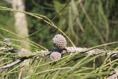 木麻黄属的各种常绿乔木植物 免版税库存图片