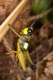 木质成年男性的蝗虫 库存照片