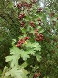 木头的Kalina植物 免版税库存图片