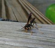 木黄蜂 免版税库存照片
