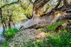 木头被锯的海狸 免版税库存照片