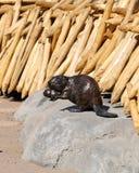 木头被雕刻的海狸 免版税库存图片