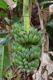 未从香蕉树被切的香蕉 库存照片