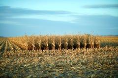 未割减的玉米立场在一个被收获的领域的 免版税库存照片