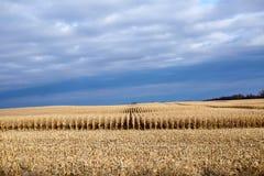 未割减的玉米行在一个部分被收获的领域的 免版税库存照片