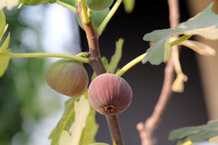 未加工和成熟无花果在无花果树的分支在阳光,自然下结果实 库存照片