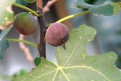 未加工和成熟无花果在无花果树的分支在阳光,自然下结果实 免版税库存照片