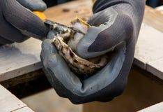 未加工和新鲜的牡蛎 海鲜,上颚的一个纤巧 库存图片